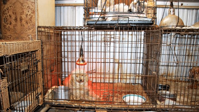 Puppy factories: An Ongoing Battle